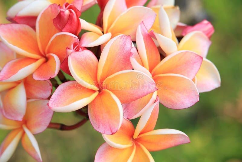 Download Plan Rapproché Des Fleurs De Plumeria Image stock - Image du arbre, centrale: 87706993