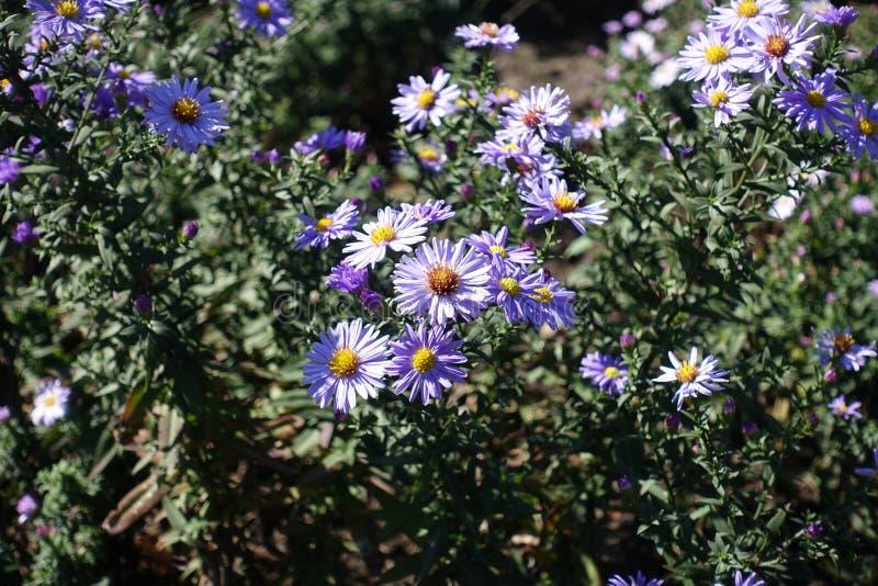 Plan rapproché des fleurs de violette pâle des marguerites de Michaelmas image libre de droits