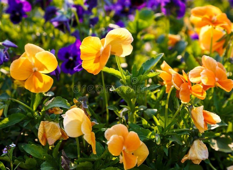 Plan rapproché des fleurs jaunes et violettes colorées de fleur de pensée en parc Les pens?es sont des usines cultiv?es pour le j photo libre de droits