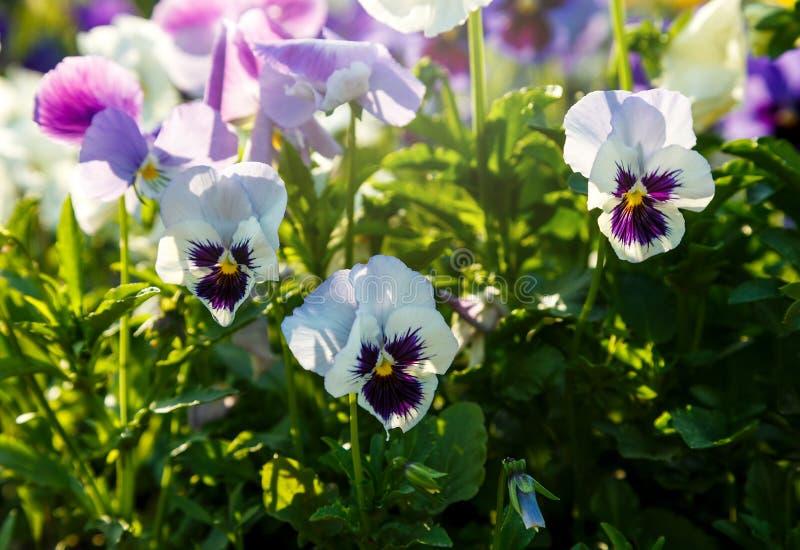 Plan rapproché des fleurs jaunes et violettes colorées de fleur de pensée en parc Les pens?es sont des usines cultiv?es pour le j images libres de droits