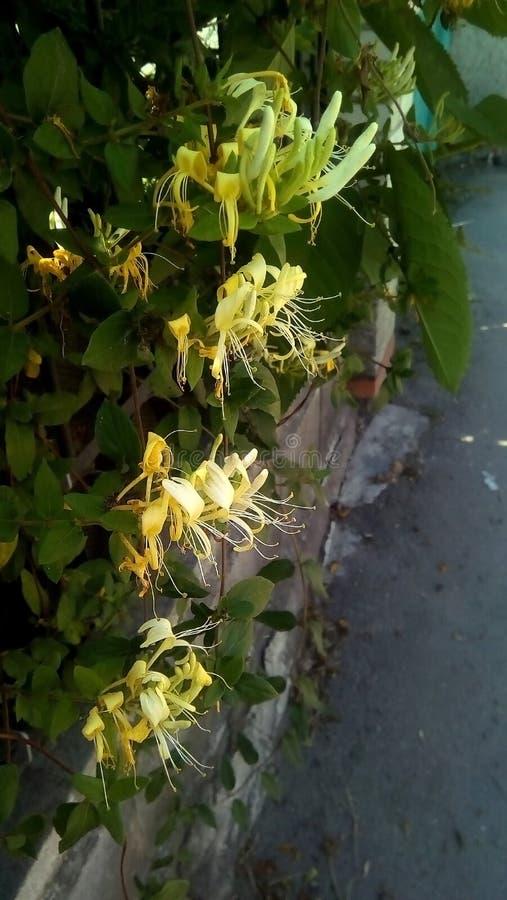 Plan rapproché des fleurs jaunes sur un fond foncé Arbustes de floraison près de la barrière images stock
