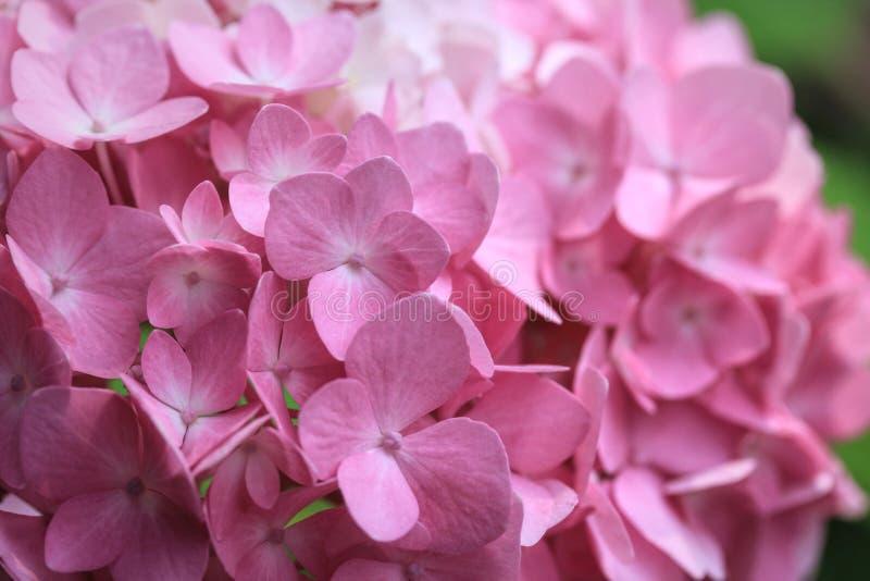 Plan rapproché des fleurs roses d'hortensia photo libre de droits