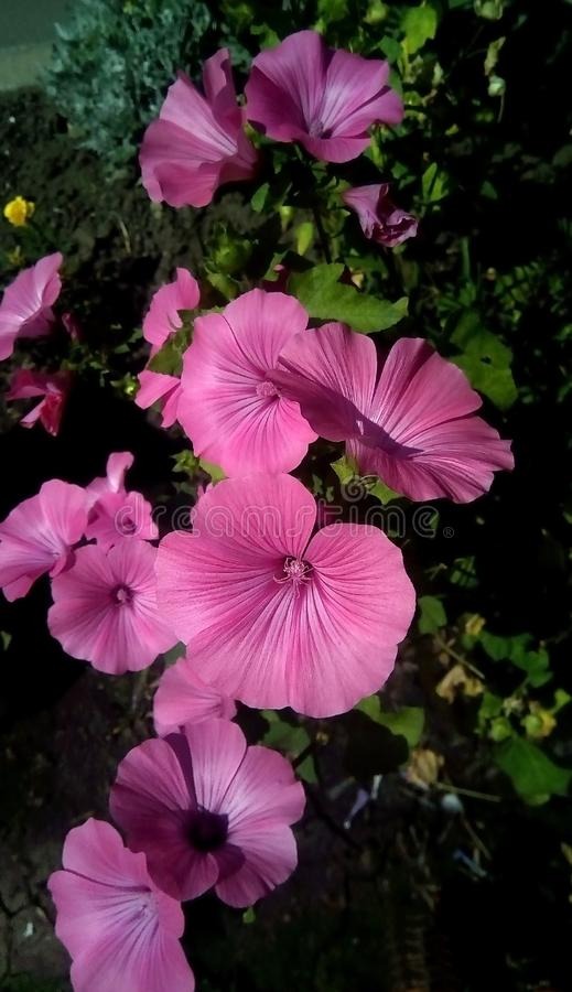 Plan rapproché des fleurs roses sur un fond des feuilles vertes Belles fleurs sous forme de phonographe photos stock