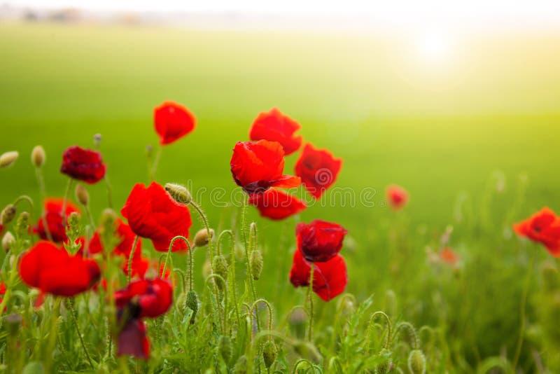 Plan rapproché des fleurs rouges de pavot images libres de droits