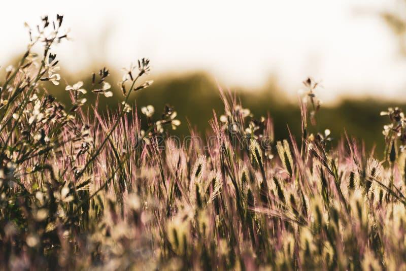 Plan rapproché des fleurs sauvages colorées par la lumière lumineuse du coucher du soleil d'or Ressort ou fond typique d'été image libre de droits