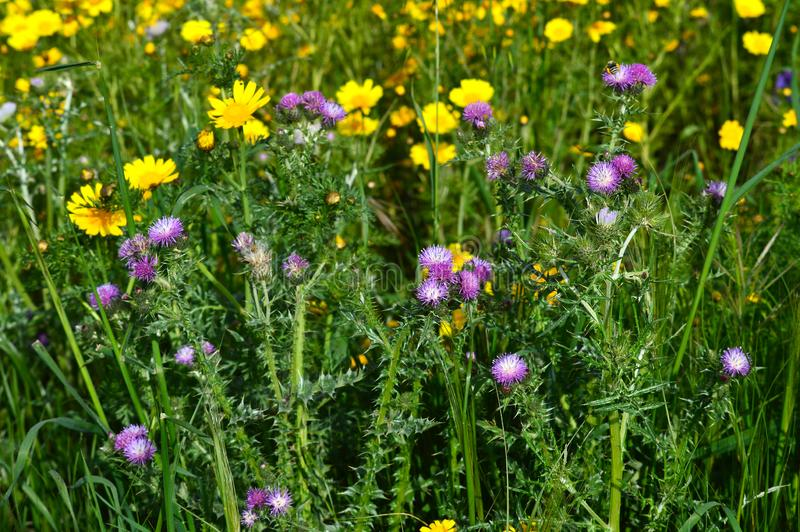 Plan rapproch? des fleurs sauvages de chardon, nature photographie stock