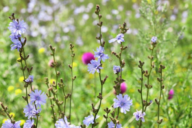 Plan rapproché des fleurs sauvages sur le champ d'été photographie stock