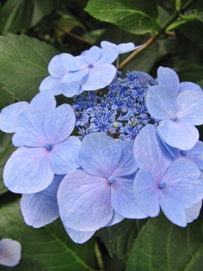 Plan rapproché des fleurs sensibles d'hortensia d'isolement sur un fond des feuilles vertes photo libre de droits