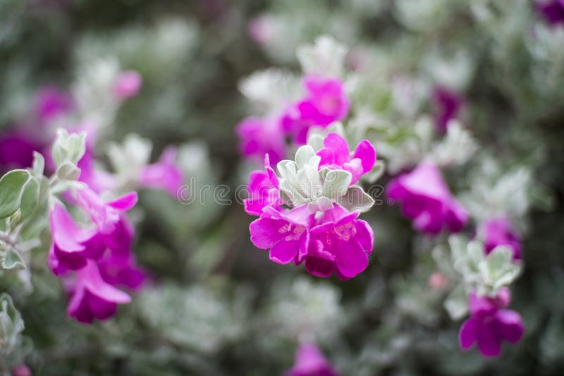 Plan rapproché des fleurs sur un buisson de sauge de silverleaf du Texas photos stock