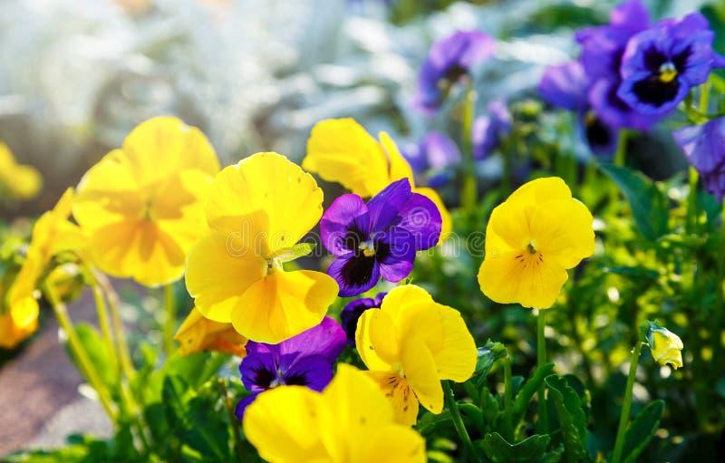 Plan rapproché des fleurs violettes de pensée de fleur colorée en parc Les pens?es sont des usines cultiv?es pour le jardin ?t?,  photos stock