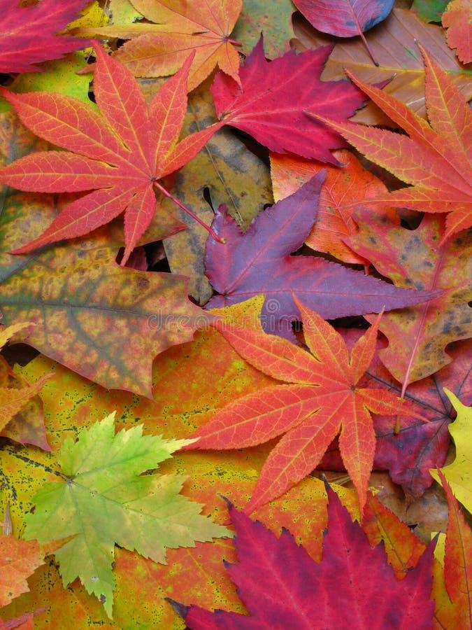 Plan rapproché des lames colorées d'automne image libre de droits