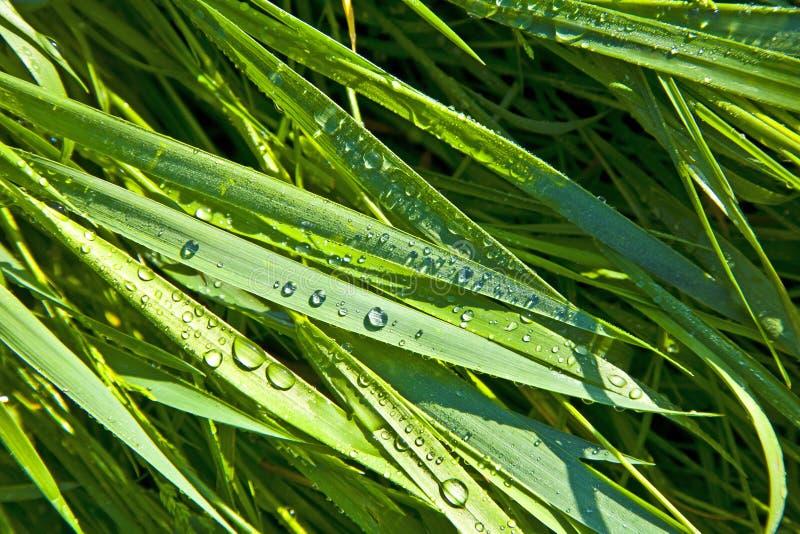 Plan rapproché des lames de l'herbe avec des gouttes de rosée photos libres de droits