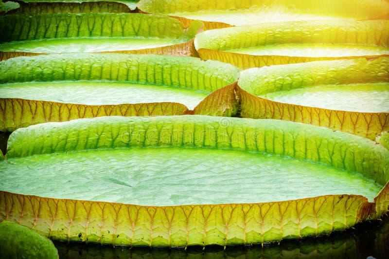 Plan rapproché des lillies de l'eau Victoria Amazonica image stock