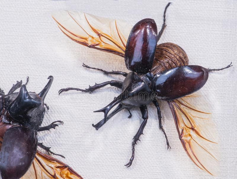 Plan rapproché des lunicollis de Trichogompus de scarabée contre le scarabée de rhinocéros image stock
