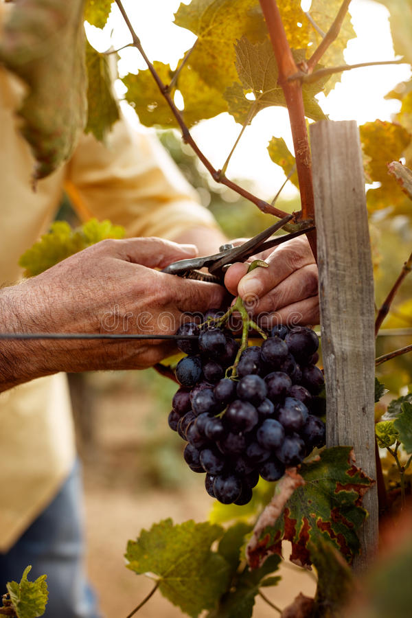 Plan rapproché des mains d'agriculteurs avec des raisins bleus photos libres de droits
