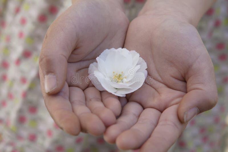 Plan rapproché des mains de petites filles évasées ensemble et tenant des fleurs de cerisier image stock