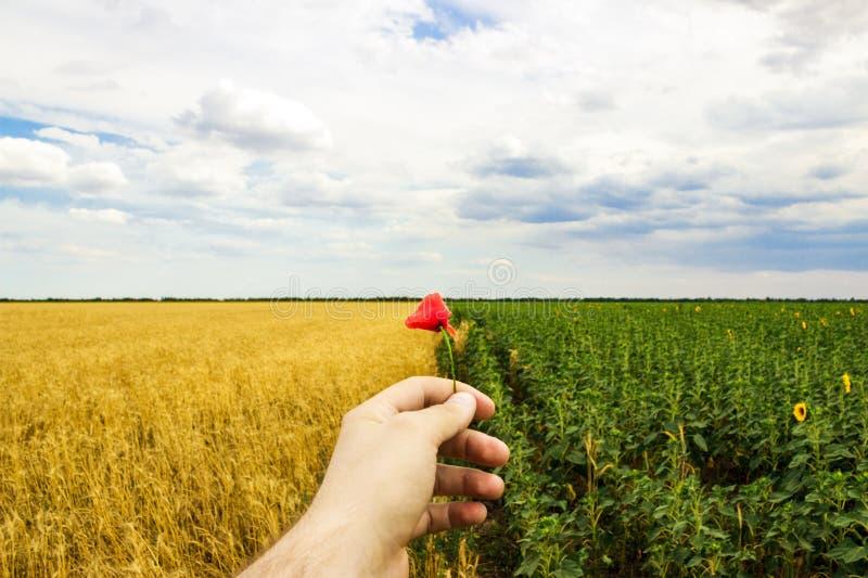 Plan rapproché des mains et de la fleur d'un pavot sauvage, champ des tournesols et blé à l'arrière-plan photo libre de droits