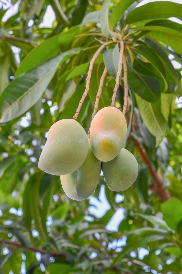 Plan rapproché des mangues accrochant, gisement de mangue, ferme de mangue avec la lumière du soleil photo stock