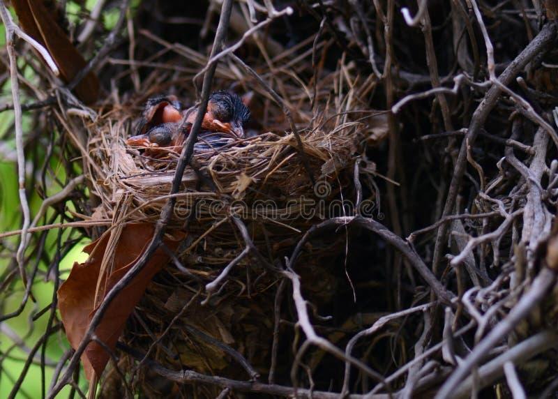 Plan rapproché des oiseaux de bébé rouge-barbus de bulbul de sommeil dans le nid images libres de droits