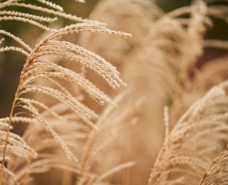 Plan rapproché des panicles secs d'herbe de buisson sur le blanc photos stock