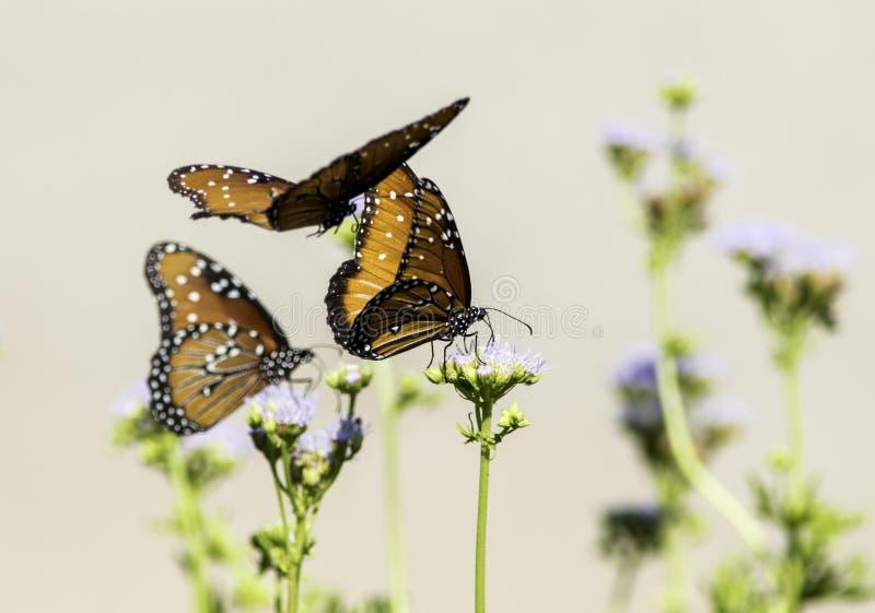 Plan rapproché des papillons de la Reine volant et étés perché sur des fleurs photographie stock libre de droits