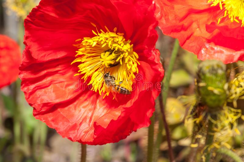 Plan rapproché des pavots rouges lumineux dans un lit de fleur, avec une abeille de miel photographie stock