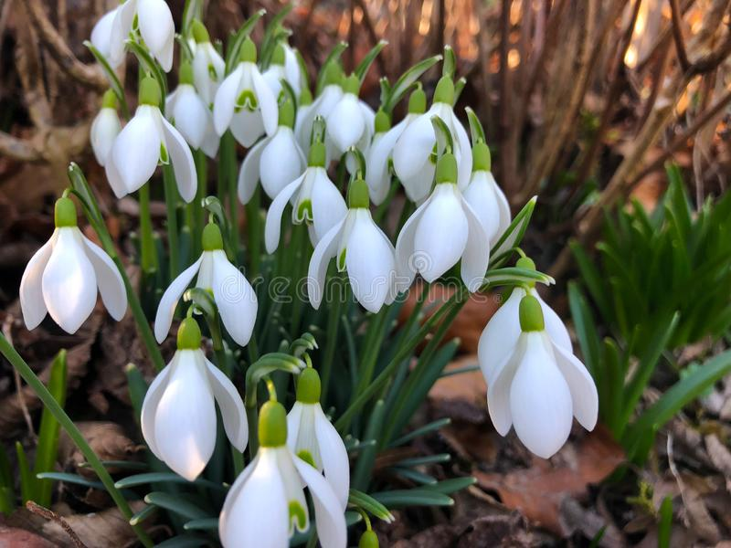 Plan rapproché des perce-neige de ressort dans le jardin avec le fond de doux-foyer image libre de droits