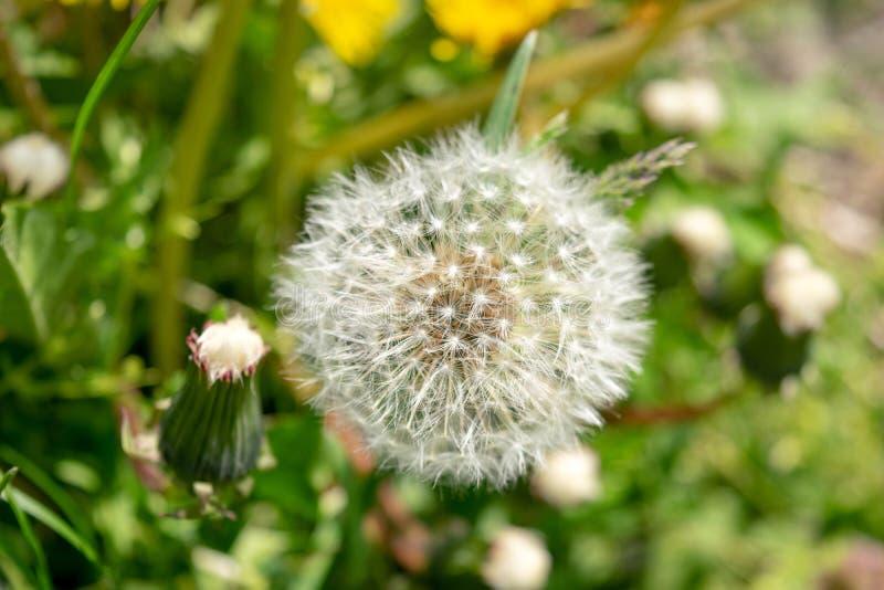 Plan rapproché des pissenlits avec l'abondance des graines, se tenant dans un pré d'herbe verte luxuriante, un beau et ensoleillé photographie stock libre de droits
