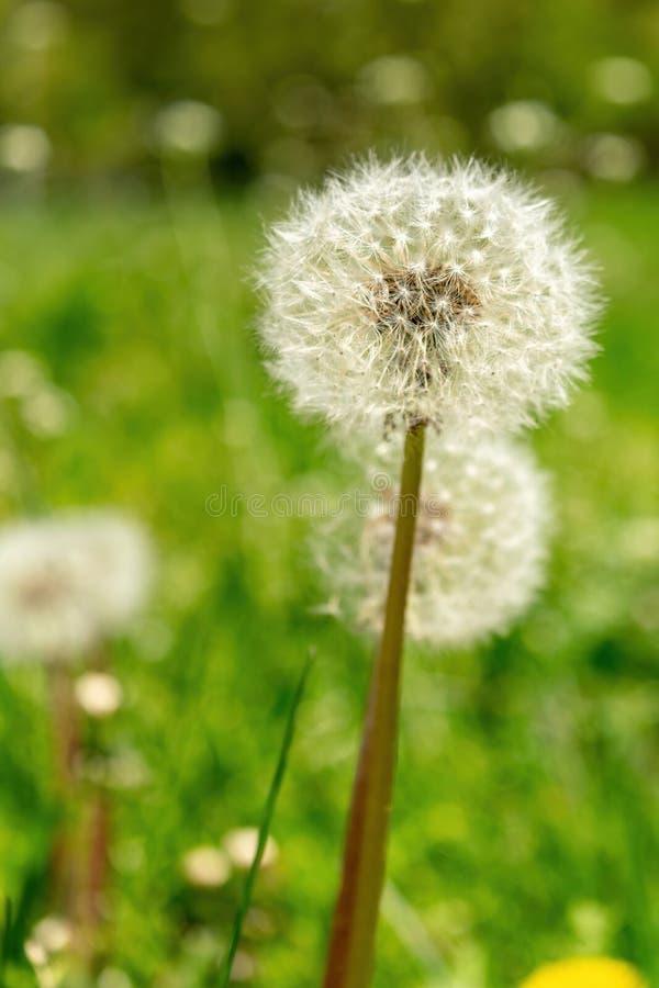 Plan rapproché des pissenlits avec l'abondance des graines, se tenant dans un pré d'herbe verte luxuriante, un beau et ensoleillé photo libre de droits
