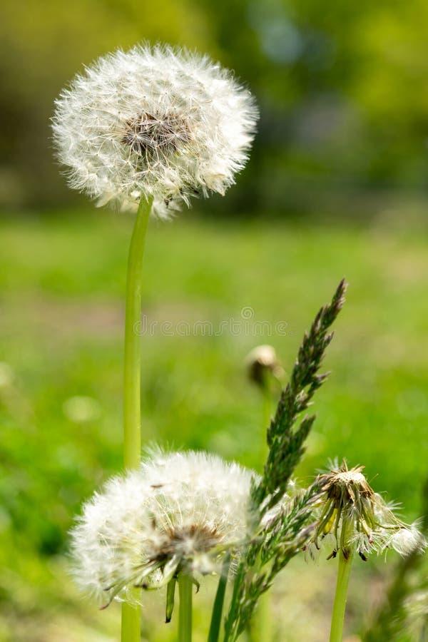 Plan rapproché des pissenlits avec l'abondance des graines, se tenant dans un pré d'herbe verte luxuriante, un beau et ensoleillé photos stock