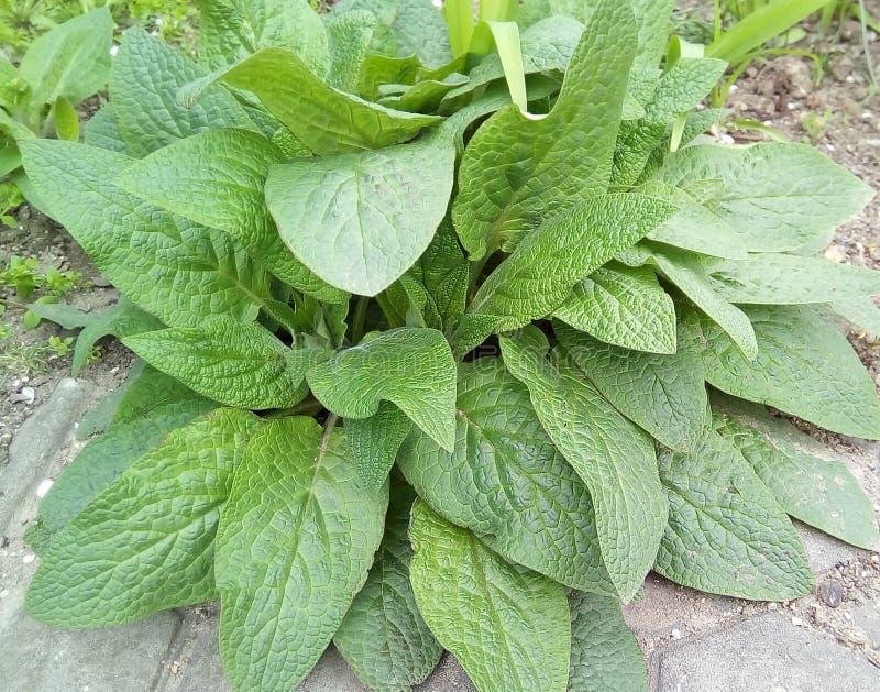 Plan rapproché des plantes ornementales avec de grandes feuilles vertes photos libres de droits