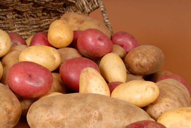 Plan rapproché des pommes de terre de reinette, rouges et blanches se renversant hors d'un lézarder image stock