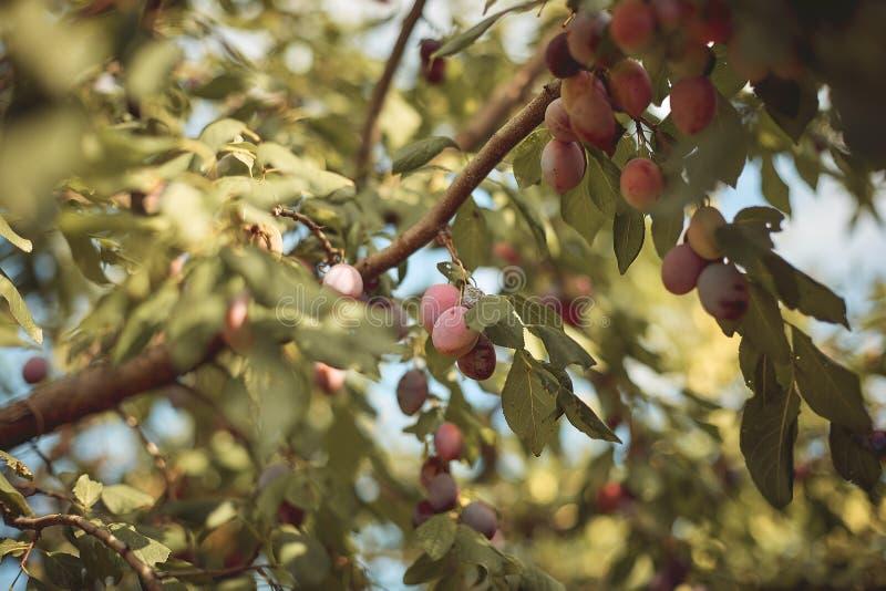 Plan rapproché des prunes mûres délicieuses sur la branche d'arbre dans le jardin photos libres de droits