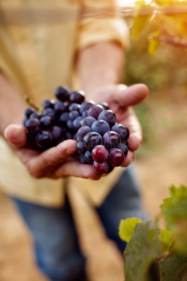 Plan rapproché des raisins bleus photo libre de droits