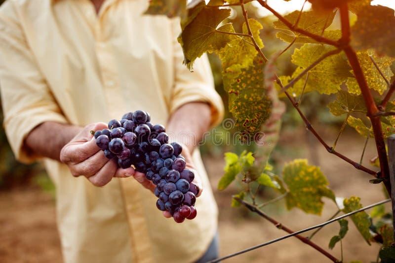 Plan rapproché des raisins bleus dans le vignoble photos stock