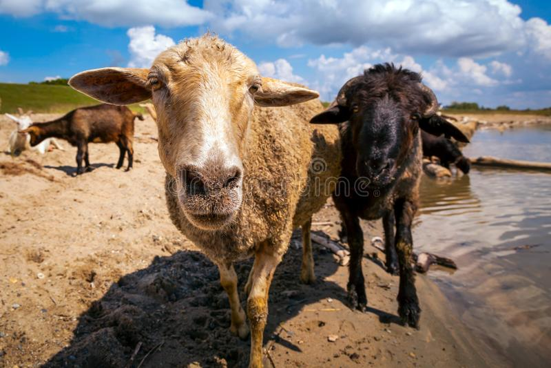 Plan rapproché des regards bruns d'une chèvre photographie stock libre de droits
