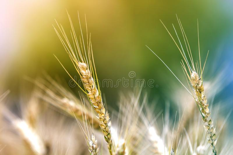 Plan rapproché des têtes mûres jaunes d'or colorées chaudes de blé le jour ensoleillé d'été sur le champ de blé brumeux brouillé  images stock