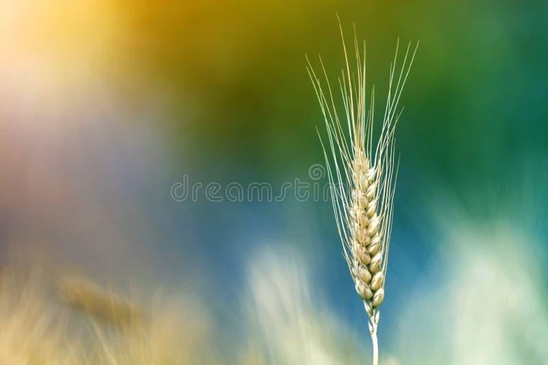 Plan rapproché des têtes mûres jaunes d'or colorées chaudes de blé le jour ensoleillé d'été sur le champ de blé brumeux brouillé  photo stock