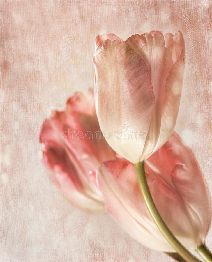 Plan rapproché des tulipes avec sensation de cru illustration stock