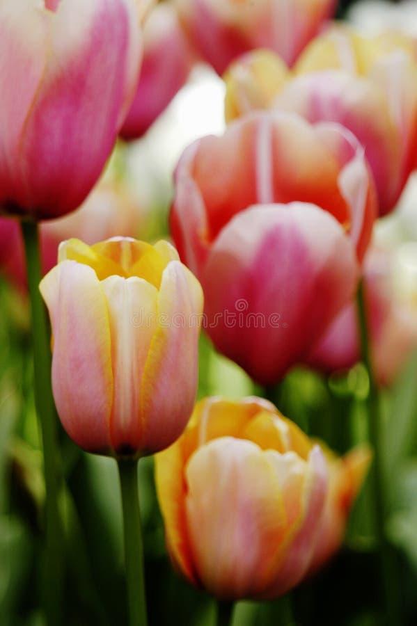 Plan rapproché des tulipes d'abricot, de rose, oranges et blanches image libre de droits