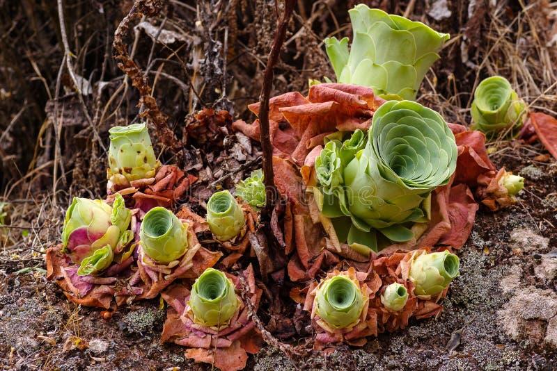 Plan rapproché des usines succulentes, canariense d'Aeonium photos libres de droits