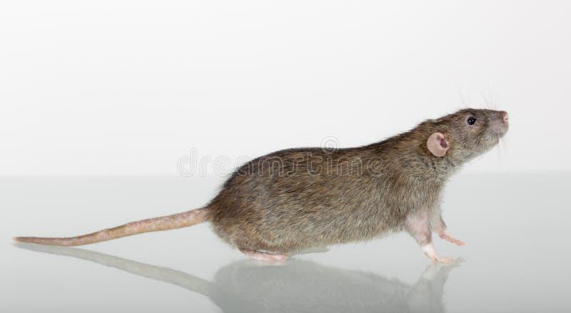 Plan rapproché domestique de rat de Brown photo libre de droits