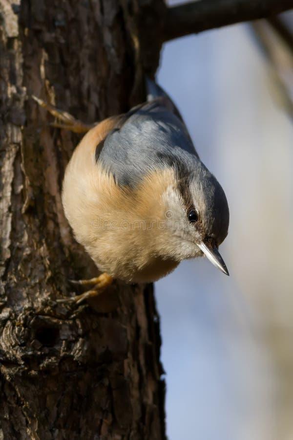 Plan rapproché du bel europaea de Sitta de sittelle, oiseau d'Aves sur le tronçon dans la forêt i photo stock