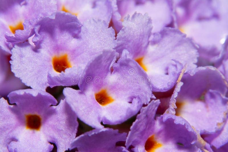 Plan rapproché du buisson de papillon violet, davidii de buddleia photo libre de droits
