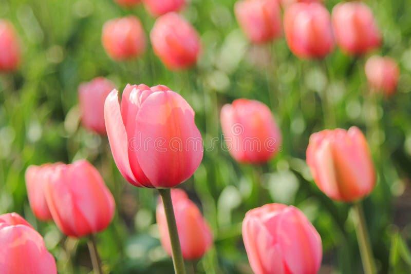 Plan rapproché du champ des tulipes roses photos libres de droits