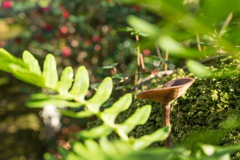 Plan rapproché du champignon sauvage simple s'élevant dans la forêt entourée par la fougère photo libre de droits