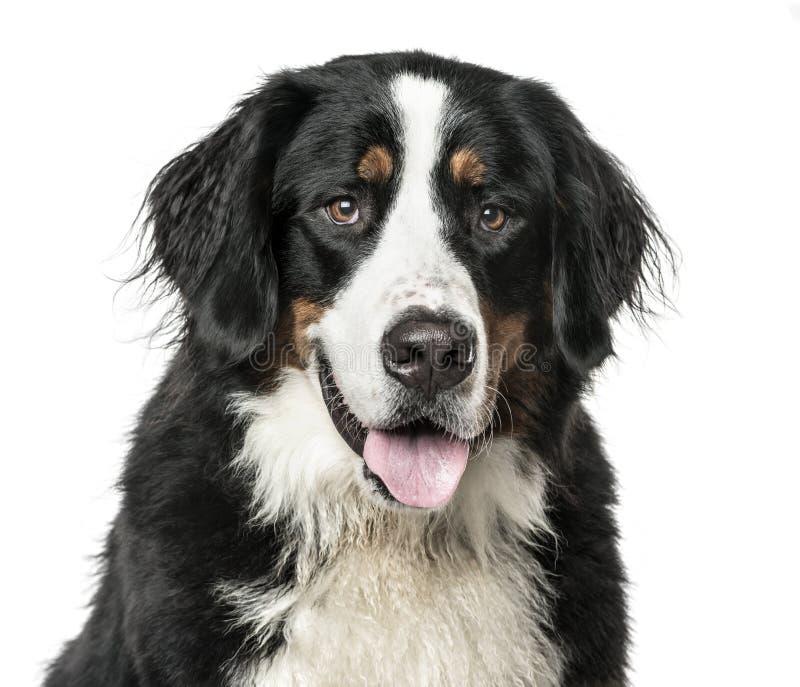 Plan rapproché du chien de montagne de Bernese haletant, d'isolement sur le blanc photo stock
