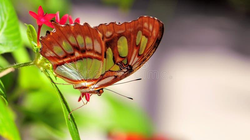 Plan rapproché du dessous du papillon de malachite image libre de droits