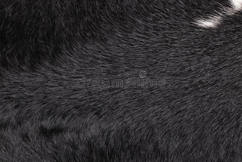 Plan rapproché du fond en cuir de texture de vache noire à fourrure avec une correction blanche Macro de peau de vache images stock
