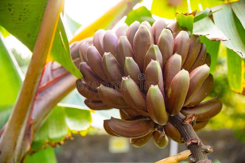 Plan rapproché du groupe de la banane rouge organique fraîche images libres de droits